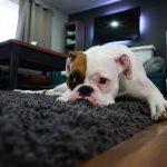 mon chien mange et d truit son tapis pour chien que faire. Black Bedroom Furniture Sets. Home Design Ideas