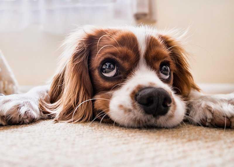 Quelle taille choisir pour le tapis de mon chien ?