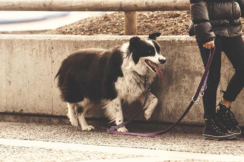 avis laisse corde pour chien