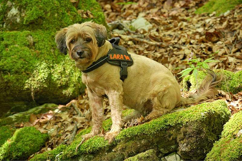 comparatif harnais pour chien