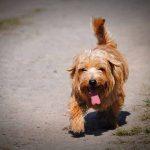 danger du coup de chaleur chez le chien