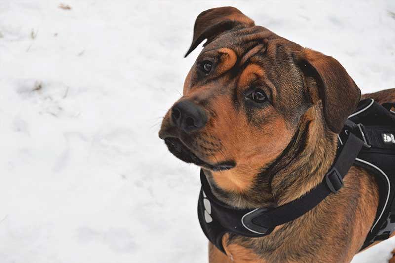 Quelle taille de harnais pour chien choisir ?