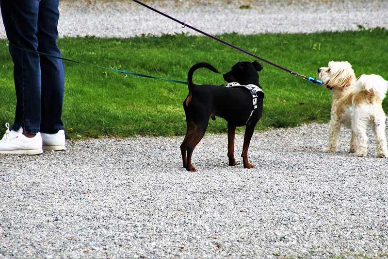 longueur taille laisse chien