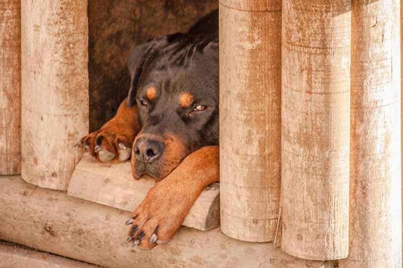 meilleure niche pour gros chien