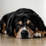 comment-habituer chien cloture electrique