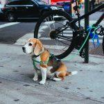 utilisation remorque velo pour chien securite