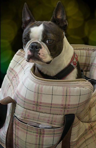 habituer chien sac à dos