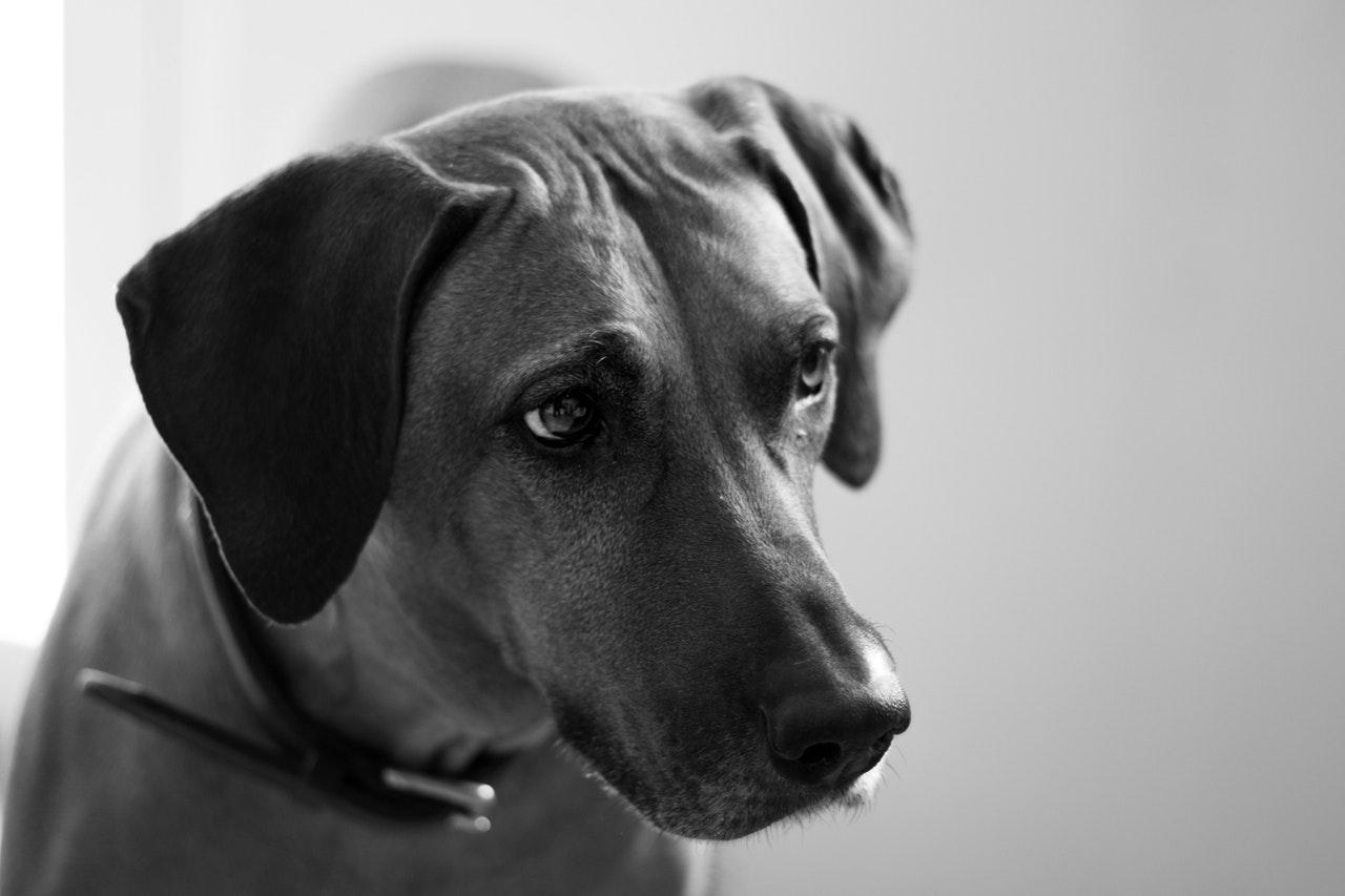 meilleur chien pour courir