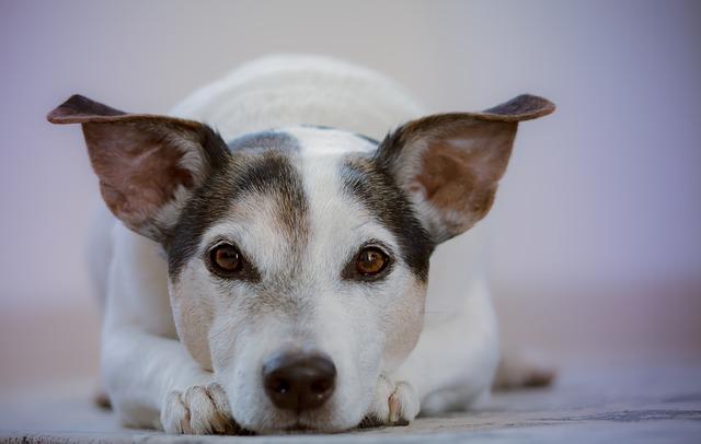 Convalescence du chien