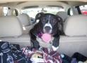 Comment installer une housse de siège auto pour chien?