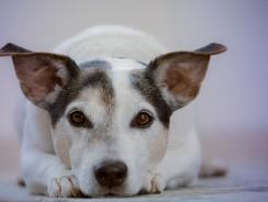 Convalescence du chien après une opération : les soins appropriés