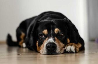 Comment habituer son chien à la clôture électrique ?
