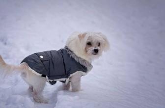 Manteau pour chien : est-ce utile ou inutile ?