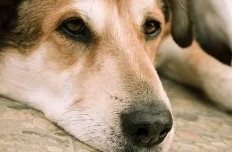 Comment mettre une couche à son chien ?
