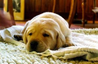 Mon chien mange son tapis : que faire ?