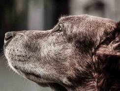Pourquoi utiliser des couches pour chien ?