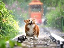 Combien de temps durent les chaleurs d'une chienne ?